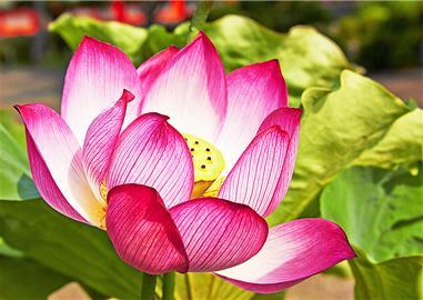 Symbol štěstí,  krásy a života,  Japonsko
